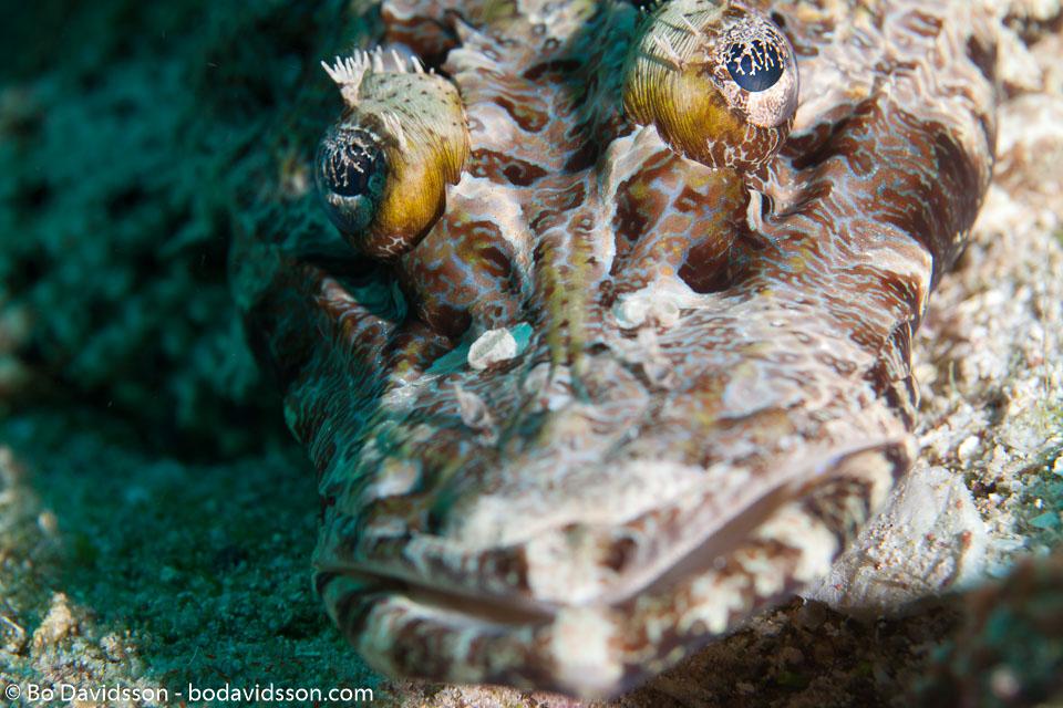 BD-111128-Raja-Ampat-5519-Cymbacephalus-beauforti-(Knapp.-1973)-[Crocodile-fish].jpg